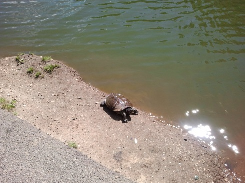 A turtle going for a walk along the Morningside Pond